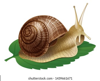 Snail. Vector illustration of realistic snail. Isolated on transparent background.
