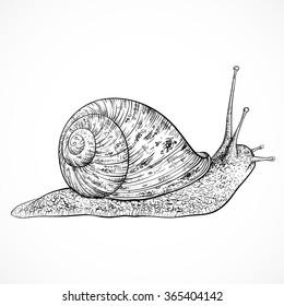 Snail. Vintage hand drawn vector illustration