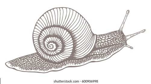 Snail. Vintage hand drawn vector illustration isolated on white background