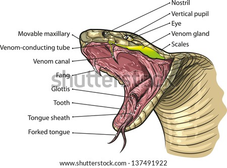 Snake Mouth Anatomy Stock Vector Royalty Free 137491922 Shutterstock