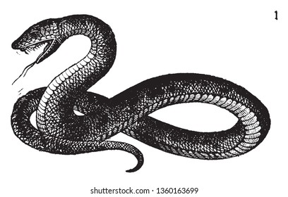 Snakes are elongated legless carnivorous reptiles of the suborder Serpentes, vintage line drawing or engraving illustration.