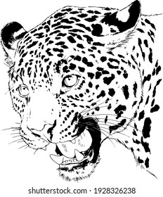 snarling face of a leopard painted by hand on a white background