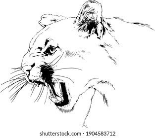 snarling, furious cougar face with fangs, hand-drawn