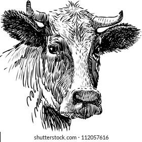 snout cow