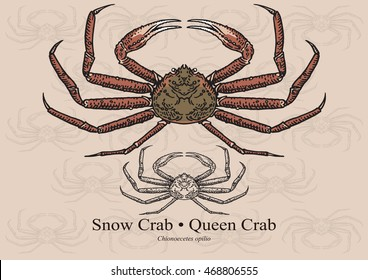 Snow crab, Queen crab. Vector illustration with refined details and optimized stroke that allows the image to be used in small sizes (in packaging design, decoration, educational graphics, etc.)