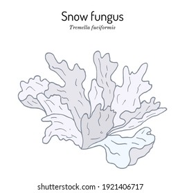 Snow fungus (Tremella fuciformis), edible and medicinal mushroom. Hand drawn botanical vector illustration