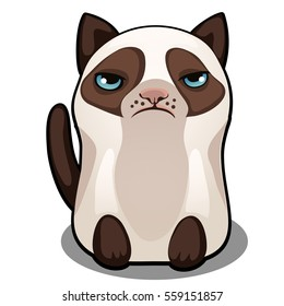 Snowshoe siamese grumpy fat cat isolated on a white background. Vector cartoon close-up illustration.