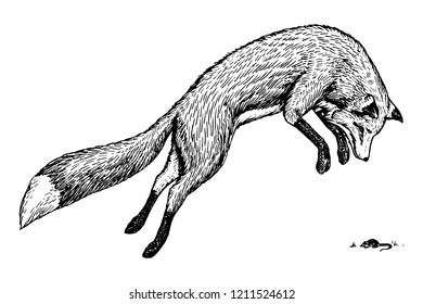 Soaring fox. Wild forest animal jumping up. Food search concept. Vintage style. Engraved hand drawn sketch.