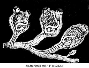 Social Ascidians, vintage engraved illustration.
