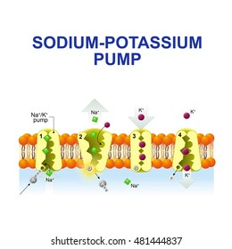 sodium-potassium pump. After binding ATP, the pump binds 3 ions sodium. the ions go to the outside. then the pump binds 2 extracellular ions potassium and transporting the ions into the cell.