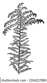 Solidago canadensis also known as Canada goldenrod or Canadian goldenrod is an herbaceous perennial plant of the family Asteraceae native to North America, vintage