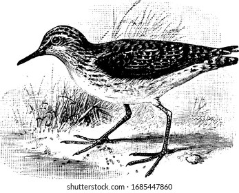 Solitary Sandpiper is a water wading bird mostly found in Europe, vintage line drawing or engraving illustration.
