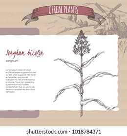 Sorghum bicolor sketch with field landscape. Cereal plants collection. Great for bakery, agriculture, farming design.