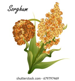 Sorghum (gaoliang, durra, milo, hegari, jowari, Sorghum bicolor). Hand drawn realistic vector illustration of green sorghum plant with yellow and brown seeds isolated on white background.