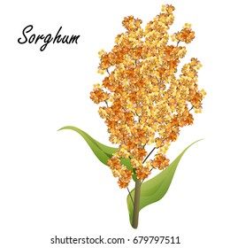 Sorghum (gaoliang, durra, milo, hegari, jowari, Sorghum bicolor). Hand drawn realistic vector illustration of green sorghum plant with yellow seeds isolated on white background.