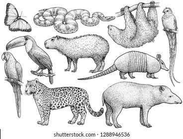 South American animal collection, illustration, drawing, engraving, ink, line art, vector