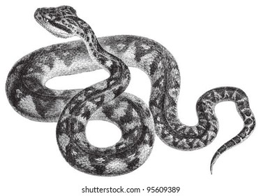 South American bushmaster (Lachesis muta) / vintage illustration from Meyers Konversations-Lexikon 1897