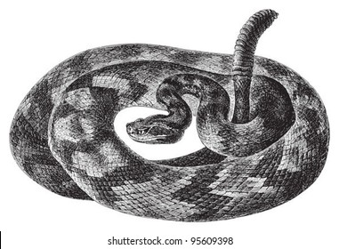 South American rattlesnake (Crotalus durissus) / vintage illustration from Meyers Konversations-Lexikon 1897