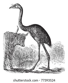 South Island Giant Moa or Dinornis giganteus, vintage engraving. Old engraved illustration of a South Island Giant Moa. Trousset Encyclopedia