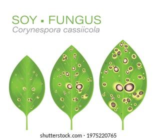 Soybean leaf disease. Soy leaf with fungus. Disease known as spot. Fungicides. Soy sick. Mancha. Mancha-alvo. Brazilian. Brasil. Corynespora cassiicola.