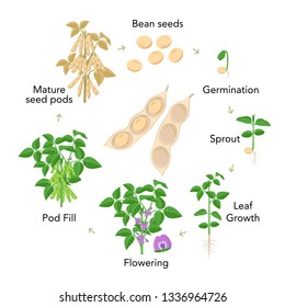 Soybean plant growth stages infographic elements in flat design. Planting process from seeds, sprout to ripe vegetable, soya bean life cycle isolated on white background, vector stock illustration.