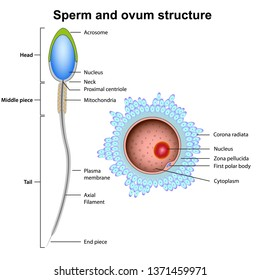 sperm and ovum anatomy vector illustration isolated on white background