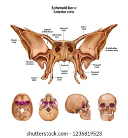 Sphenoid bone.  With the name and description of all sites.