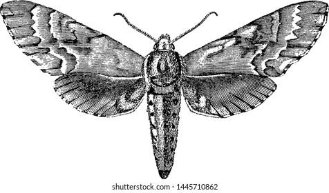 Sphinx Moth, vintage engraved illustration.