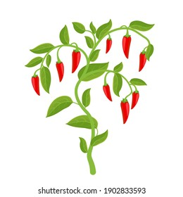 Spicy chili pepper vegetable bush plant. Red ripe fruit harvest. Capsicum annuum fruits. The spiciest. Vector Illustration.
