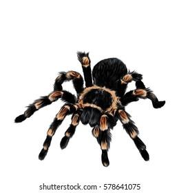 spider tarantula vector color drawing