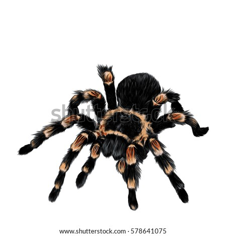 Spider Tarantula Vector Color Drawing Vector de stock (libre de ...