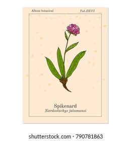 Spikenard (Nardostachys jatamansi), or nard, nardin, muskroot, medicinal plant. Hand drawn botanical vector illustration