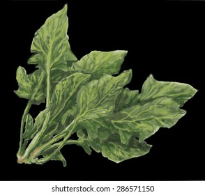 Spinach, black background a widely cultivated edible Asian plant of the goosefoot family, with large, dark green leaves that are eaten raw or cooked as a vegetable.