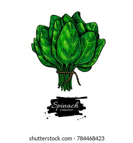 Spinach bunch hand drawn vector. Vegetable illustration. Isolated  leaves drawing on white background. Detailed botanical drawing. Farm market product.