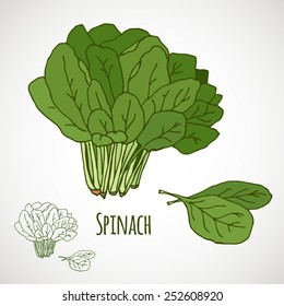 Spinach. Green salad leaf vegetable. Healthy vegetarian food. Hand drawn colorful sketch. Vector illustration isolated on white background.