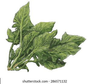 Spinach a widely cultivated edible Asian plant of the goosefoot family, with large, dark green leaves that are eaten raw or cooked as a vegetable.