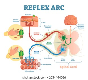 Spinal reflex arc images stock photos vectors shutterstock spinal reflex arc anatomical scheme vector illustration with spinal cord stimulus pathway to ccuart Gallery