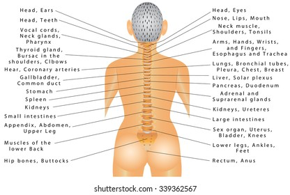 Spine and All Organs. Spine - Organ Function. Autonomic nervous system, innervations of internal organs. Parasympathetic nervous system. Chart of Effects of  Spinal Misalignments