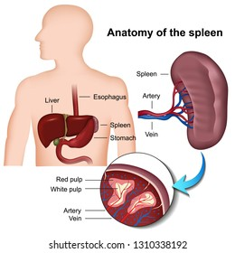 spleen anatomy 3d medical vector illustration