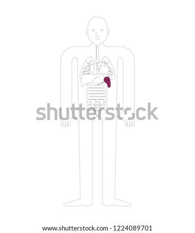 spleen human anatomy  gastrointestinal tract internal organs  systems of  man body and organs