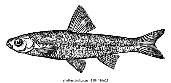 Spottail Minnow or Shiner is also called spawn eater, vintage line drawing or engraving illustration.