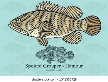 Spotted Grouper, Hamour. Vector illustration with refined details and optimized stroke that allows the image to be used in small sizes (in packaging design, decoration, educational graphics, etc.)
