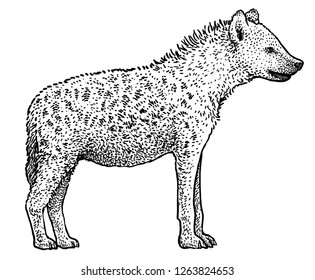 Spotted hyena (Crocuta crocuta) illustration, drawing, engraving, ink, line art, vector