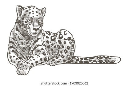 Spotted leopard, cheetah or panther laying on ground resting. Puma or cougar, predator with long tail. Zoo or wild life in safari. Monochrome sketch outline. Feline cat animal, vector in flat style