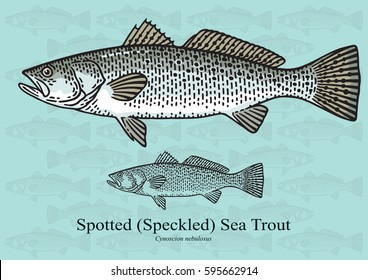 Spotted Sea Trout, Speckled Sea Trout, Weakfish. Vector illustration with refined details and optimized stroke that allows the image to be used in small sizes.