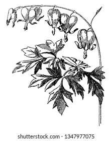 Spreading hearts have heart shaped flowers. The leaves are deeply sinuate to lobed, vintage line drawing or engraving illustration.