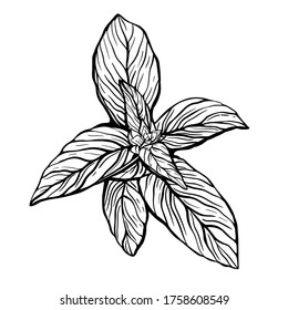 A sprig of Basil isolated on a white background.Basil is a delicious fragrant green for salads and healthy food. Hand drawn vector illustration in the Doodle style.