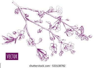 Spring blossom (bloom), branch with cherry flowers, hand draw sketch, outline on white background, vector illustration, vintage