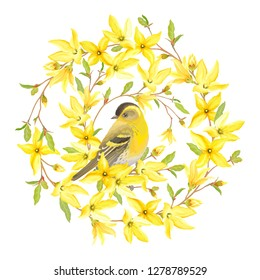Spring circle banner with bird Siskin, blossoming yellow flowers and green leaves on branches Forsythia. Vector illustration in watercolor style on white background.