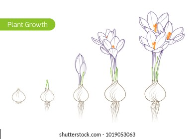 Spring crocus flower growth germination evolution phases from bulb to sprouts to plant. Floriculture holticulture process concept illustration. Outline sketch drawing green purple. White background.